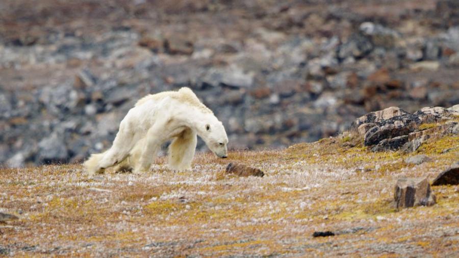 Animales Animales El video de un oso polar famélico que 'te hace trizas el corazón'