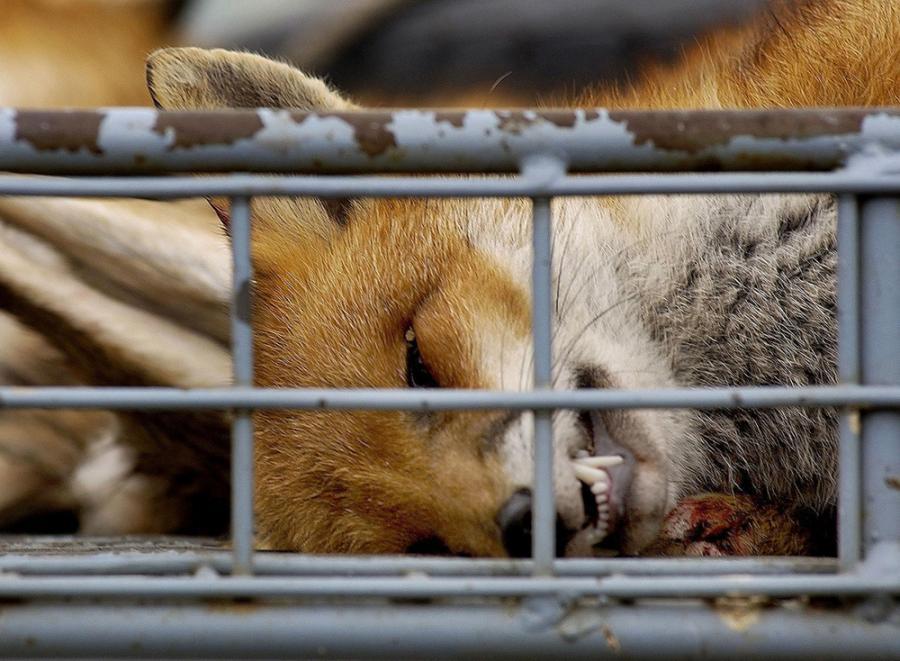 Animales Animales La caza acaba con más de 12.000 zorros cada año en Galicia