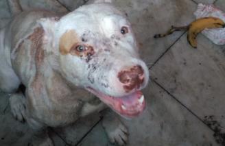 Animales Animales Cuatro perros desnutridos y con heridas en una casa okupa en València