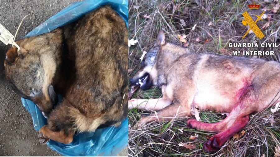 Intenta vender un lobo ibérico congelado por Internet y lo descubre la Guardia Civil