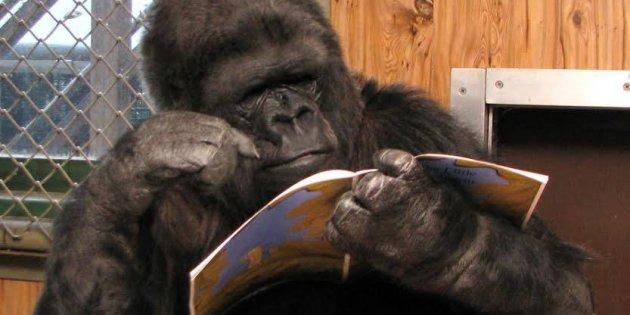 Animales Animales Muere Koko, la famosa gorila californiana que hablaba lenguaje de signos
