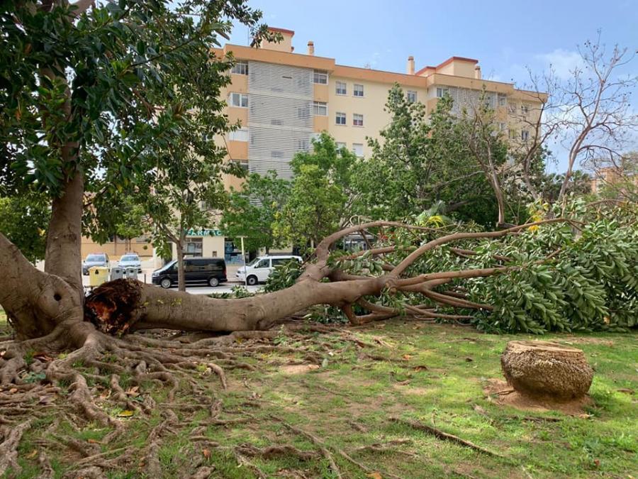 Torremolinos Torremolinos Un árbol de grandes dimensiones se desploma en la barriada de Cantarranas y el PP critica la falta de mantenimiento del arbolado ornamental